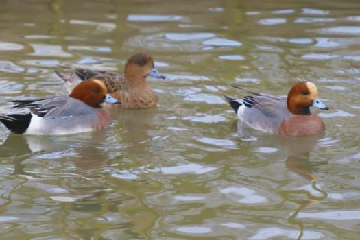 canards-siffleur-bassin